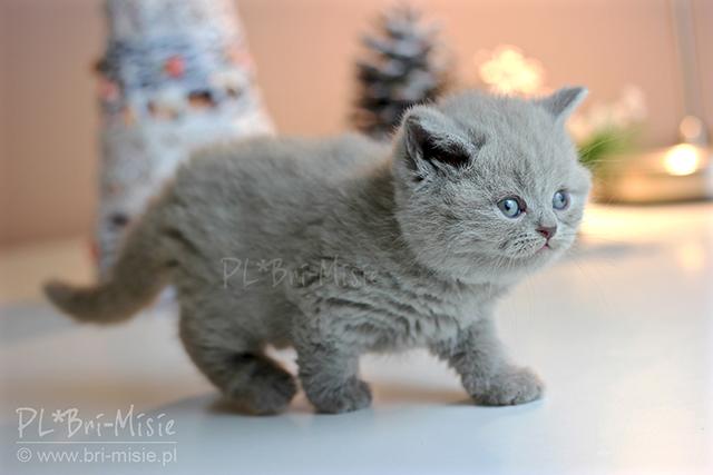 Bri Misiepl Hodowla Kotów Brytyjskich Home