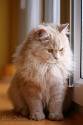 Bri Misiepl Hodowla Kotów Brytyjskich Galeria Kocieta