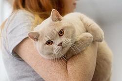 Winnie Kubus kot brytyjski kremowy