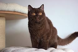 Valerie kotka brytyjska czekoladowa