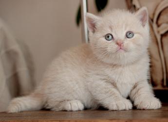 Bri Misiepl Hodowla Kotów Brytyjskich Koty