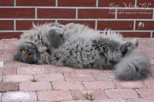Bri Misiepl Hodowla Kotów Brytyjskich Kolory Naszych Kociąt